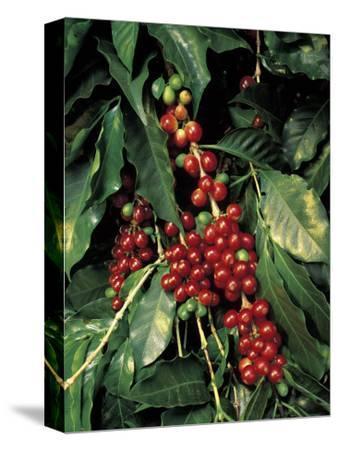Coffee Beans on Tree, Costa Rica