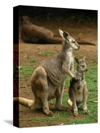 Female Kangaroo with Joey, Australia