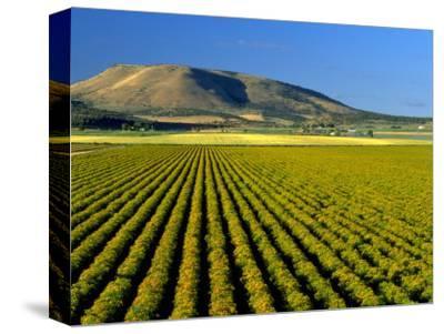 Field of St. John's Wort, Oregon