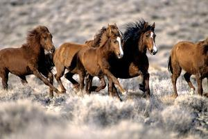 Herd of Wild Horses Running Free in Desert, Nevada, USA by Inga Spence