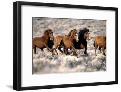 Herd of Wild Horses Running Free in Desert, Nevada, USA