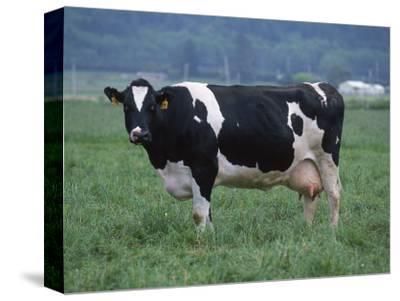 Holstein Cow in Pasture, CA