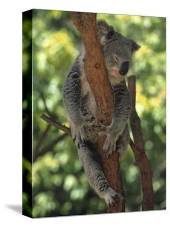 Koala Sleeping in a Tree, Australia