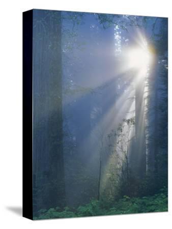 Sunlight Coming Through Redwoods, CA