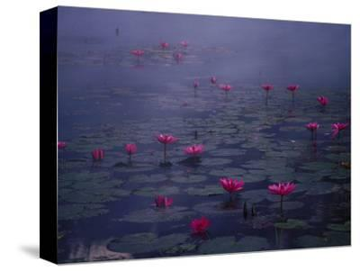 Water Lilies in Pond, Thailand