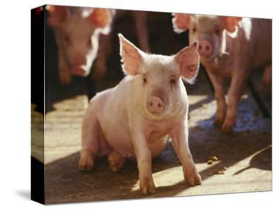 Yorkshire Pigs in Pen, GA
