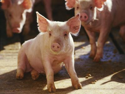 Yorkshire Pigs in Pen, GA by Inga Spence
