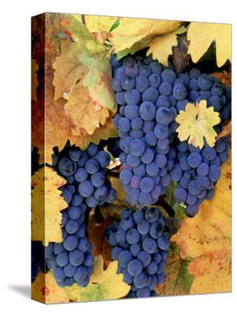 Zinfandel Grapes on Vine with Gold Fall Foliage, CA