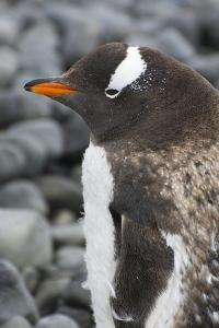Antarctica. Brown Bluff. Gentoo Penguin, Pygoscelis Papua, on a Rock by Inger Hogstrom
