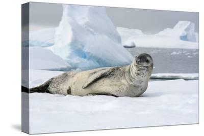 Antarctica. Charlotte Bay. Leopard Seal Sleeping on an Ice Floe