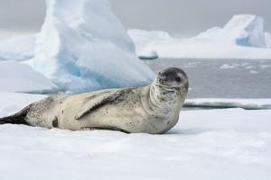 Antarctica. Charlotte Bay. Leopard Seal Sleeping on an Ice Floe by Inger Hogstrom