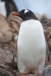 Antarctica. Petermann Island. Gentoo Penguin, Pygoscelis Papua by Inger Hogstrom