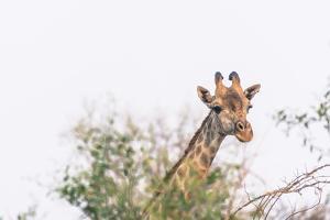 Botswana. Chobe National Park. Giraffe Peeks over a Tree by Inger Hogstrom