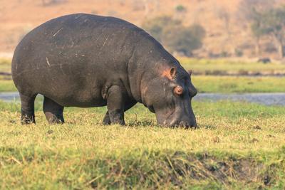 Botswana. Chobe National Park. Hippo Grazing Near the Chobe River