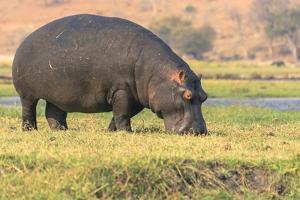 Botswana. Chobe National Park. Hippo Grazing Near the Chobe River by Inger Hogstrom