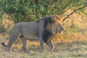 Botswana. Chobe National Park. Savuti. Male Lion Walking by Inger Hogstrom