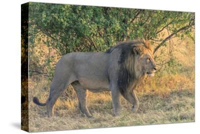 Botswana. Chobe National Park. Savuti. Male Lion Walking