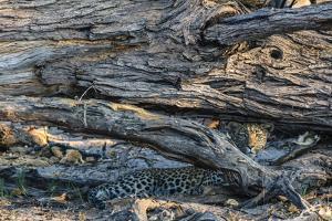 Botswana. Okavango Delta. Khwai Concession. Young Female Leopard Resting under a Log by Inger Hogstrom
