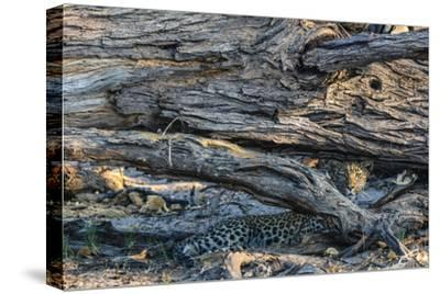 Botswana. Okavango Delta. Khwai Concession. Young Female Leopard Resting under a Log