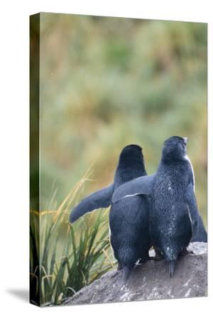 Falkland Islands. West Point Island