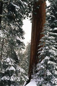 Giant Forest, Giant Sequoia Trees in Snow, Sequoia National Park, California, USA by Inger Hogstrom