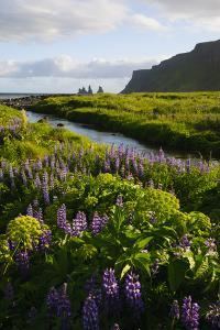 Iceland. Vik I Myrdal. Stream Running Through Field of Wildflowers by Inger Hogstrom