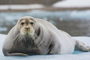 Norway. Svalbard. 14th of July Glacier. Bearded Seal on an Ice Floe by Inger Hogstrom