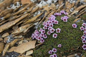 Norway. Svalbard. Bellsund. Camp Millar. Purple Saxifrage by Inger Hogstrom