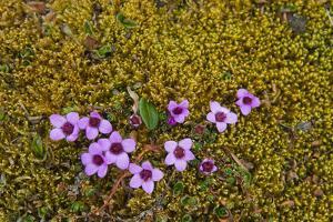 Norway. Svalbard. Bellsund. Varsolbukta. Camp Millar. Purple Saxifrage by Inger Hogstrom