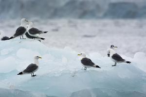 Norway. Svalbard. Brepollen. Black-Legged Kittiwakes on an Iceberg by Inger Hogstrom