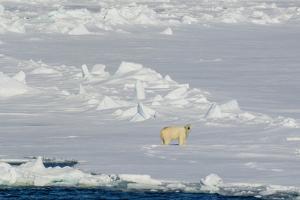 Norway. Svalbard. Hinlopen Strait. Polar Bear Walking on the Drift Ice by Inger Hogstrom