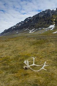 Norway. Varsolbukta. Camp Millar. Reindeer Antler on the Tundra by Inger Hogstrom