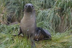 South Georgia. Prion Island. Antarctic Fur Seal in Tussock During Snow by Inger Hogstrom