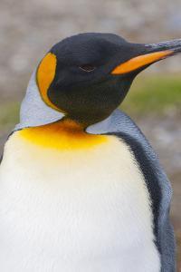 South Georgia. Salisbury Plain. King Penguin, Aptenodytes Patagonicus by Inger Hogstrom