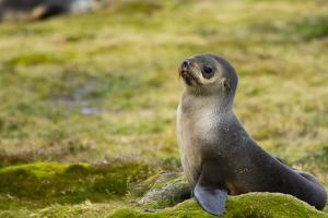 South Georgia. Stromness. Antarctic Fur Seal, Arctocephalus Gazella by Inger Hogstrom