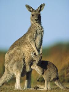 Eastern Grey Kangaroo (MacropusGiganteus) Joey and Mother, Wilson's Promontory Nat'lPark, Australia by Ingo Arndt/Minden Pictures