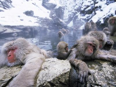 Japanese Macaque (Macaca Fuscata) Group Soaking in Hot Springs, Japan