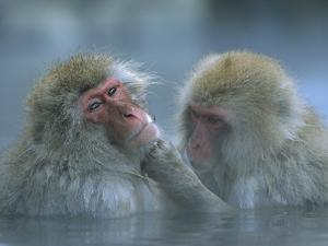 Japanese Macaque (Macaca Fuscata) Pair Grooming in Hot Spring, Joshinetsu Plateau Nat'l Park, Japan by Ingo Arndt/Minden Pictures