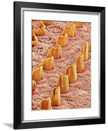 Inner Ear Hair Cells, SEM-Susumu Nishinaga-Framed Photographic Print