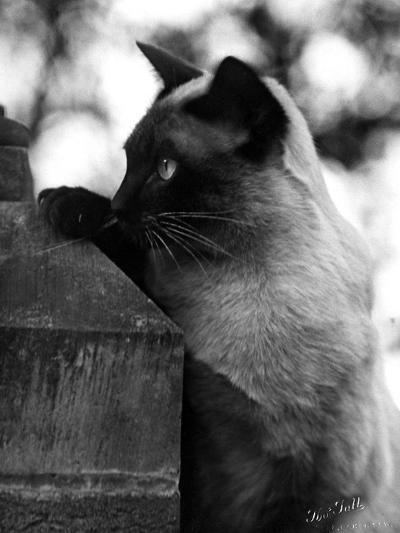 Inquisitive Siamese-Thomas Fall-Photographic Print