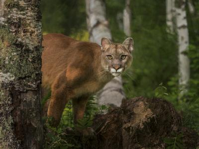 Inquistive Mountain Lion-Galloimages Online-Photographic Print