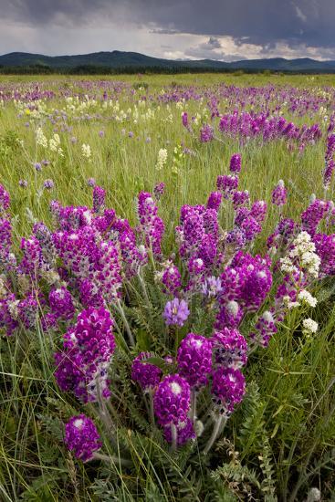 Intensely Flowery Mid-Altitude Prairie Grassland--Photographic Print