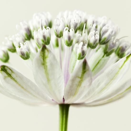Interesting Astrantia Flower-Tom Quartermaine-Giclee Print