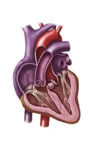 Interior of Human Heart Showing Atria and Ventricles
