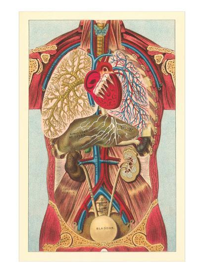 Interior View of Human Abdomen--Art Print