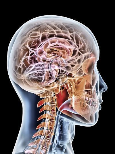 Internal Brain Anatomy, Artwork-PASIEKA-Photographic Print