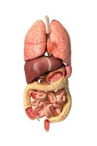 Internal Organs of the Respiratory and Digestive System