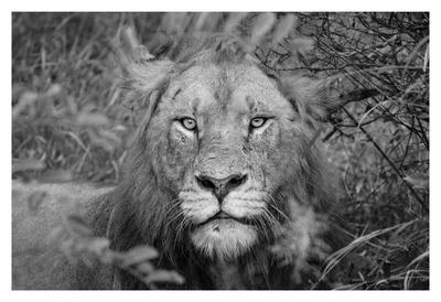 https://imgc.artprintimages.com/img/print/into-the-eyes-of-the-lion_u-l-f8jh980.jpg?p=0