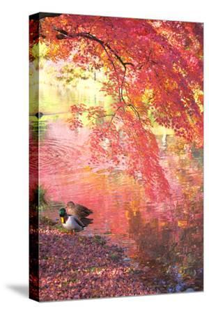 Japanese Maple Mallard Ducks in Autumn, Kyoto Prefecture, Honshu, Japan