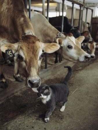 A Cat Accepts a Lick from a Cow at a Dairy Farm in Massachusetts